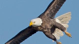 Blackwater-eagles-1