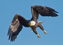 Blackwater-eagles-2