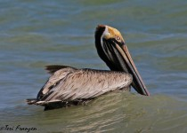Brown_Pelican_Water_Sgn_Small
