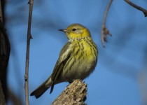 Cape-May-Warbler