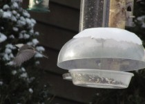 Chickadee-takes-wing