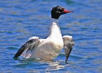 Common-Merganser-Male-Donner-Lake_0480
