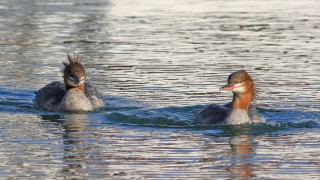 Common-Mergansers-Female-Bayfield-Wis._1685