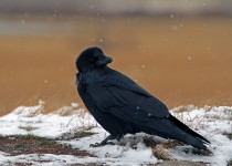 Common_Raven_Small