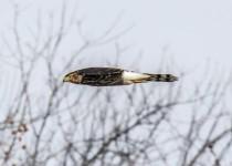Coopers-hawk-in-flight-side-view