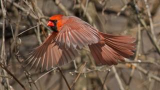 Croyden-Creek-Cardinal