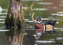 Drake_Wood_Duck_Reflections_Sgn_Sm