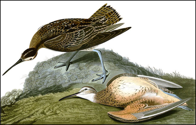 Eskimo Curlew, hand-colored engraving by John James Audubon (1785–1851), Wikimedia Commons. The shorebird was last recorded on Galveston Island, Texas, in 1962, over 50 years ago.