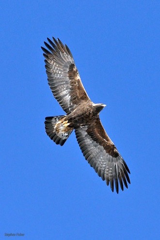 Golden Eagle, Vernon County, Wisconsin, January 18, 2014, by sfisher.