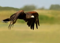 Harris-Hawk-in-Flight