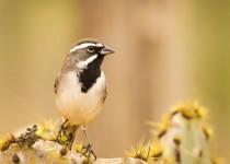 IMG_9867-black-throated-sparrow-cactus