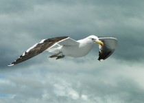 Kelp Gull | Gaivotão
