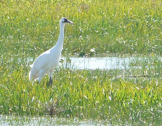 This Whooping Crane, a female known as L4-13, died of a gunshot wound in November 2014. Photo by Phillip Vasseur courtesy of the Louisiana Department of Wildlife and Fisheries