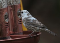Leu-the-House-Finch