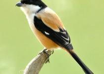 Long-Tailed-Shrike