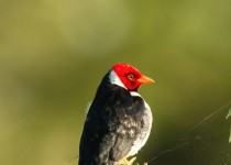 MG_5356-Yellow-billed-cardinal