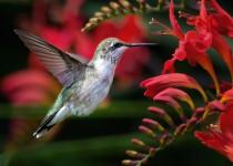 MLO_6243-nik-Western-Fair-Hummingbird-2500
