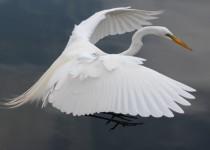 Mt.-Dora-white-bird-pics-137