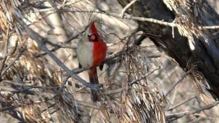 Bilateral gynandromorph Northern Cardinal, photo by Brian D. Peer.
