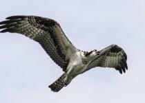 Osprey-flight-side-view