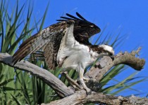Osprey_Tree2_Sgn_Small