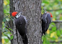 Pileated_Woodpecker_Small