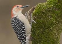 Red-bellied-Woodpecker-2