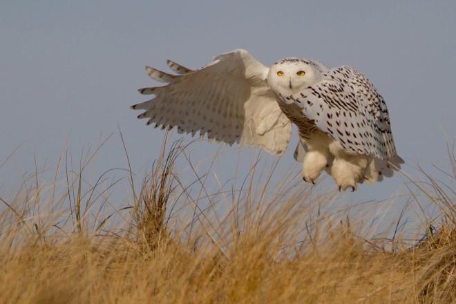 Snow Owl_kadawe_660x440