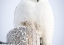 Snowy-Owl-2015-025