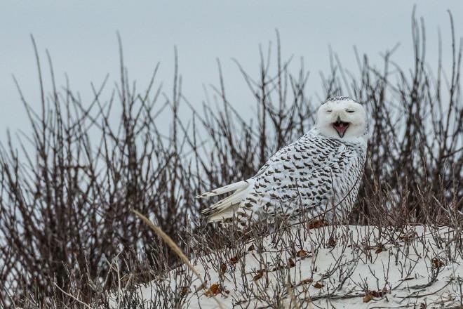 Snowy Owl_collins93_660x440