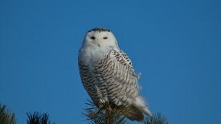 Snowy-Owl_filtered