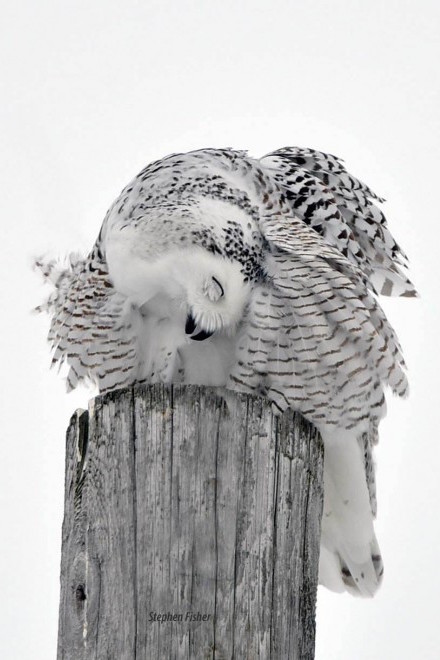 Snowy Owl_sfisher_440x660