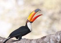 Tuco-toucan