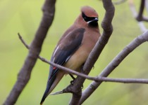 WaxWingBranches