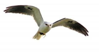 White-tailed-Kite-SJWA_5801