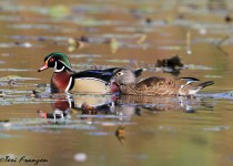 Wood_Duck_Pair_Sgn
