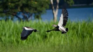 X-BirdWatching-Mgz-Southern-Lapwing