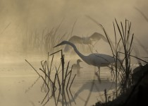 egrets-brume3-SSWM