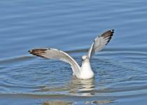 herring-gull-2