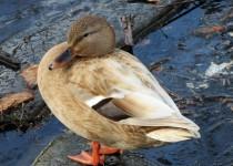 odd-duck2