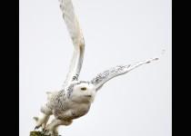 owl.lionshead
