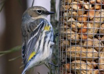 1-4804-cropped-yellow-rumped-warbler-3.77mb