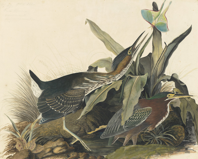 John James Audubon, Green Heron (Butorides virescens), Study for Havell pl. 333, ca. 1821–22. Watercolor, graphite, collage, pastel, gouache, and black ink with scratching out and selective glazing on paper, laid on card. New-York Historical Society, Purchased for the Society by public subscription from Mrs. John J. Audubon, 1863.17.333