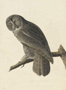 John James Audubon, Great Gray Owl (Strix nebulosa), Study for Havell pl. 351, ca. 1834–36. Watercolor, graphite, pastel, and black ink with scratching out and selective glazing on paper, laid on card. New-York Historical Society, Purchased for the Society by public subscription from Mrs. John J. Audubon, 1863.17.351
