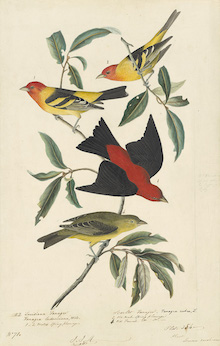 John James Audubon, Western Tanager (Piranga ludoviciana) and Scarlet Tanager (Piranga olivacea), Study for Havell pl. 354, 1836–37. Watercolor, graphite, and gouache with touches of black ink and selective glazing on paper, laid on card. New-York Historical Society, Purchased for the Society by public subscription from Mrs. John J. Audubon, 1863.17.354