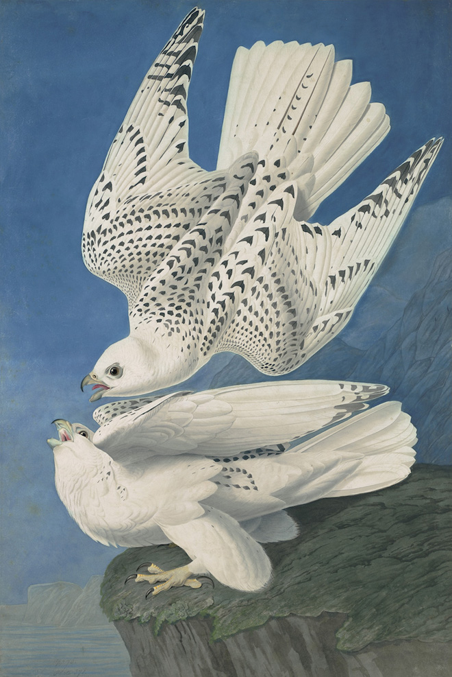 John James Audubon, Gyrfalcon (Falco rusticolus), Study for Havell pl. 366, ca. 1835–36. Watercolor, graphite, pastel, black chalk, gouache, and black ink with scratching out and touches of glazing on paper, laid on card. New-York Historical Society, Purchased for the Society by public subscription from Mrs. John J. Audubon, 1863.17.366