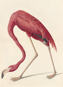 John James Audubon, American Flamingo (Phoenicopterus ruber), Study for Havell pl. 431, 1838. Watercolor, graphite, gouache, black ink, and pastel with glazes on paper, laid on card. New-York Historical Society, Purchased for the Society by public subscription from Mrs. John J. Audubon, 1863.17.431