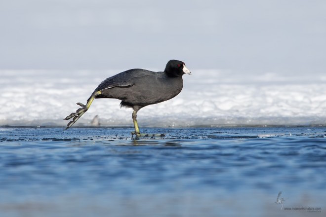 American Coot_660x440