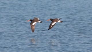 American-Oystercatcher-in-flight