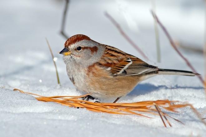 American Tree Sparrow_660x440